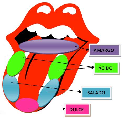 La lengua y la zona que detecta cada sabor